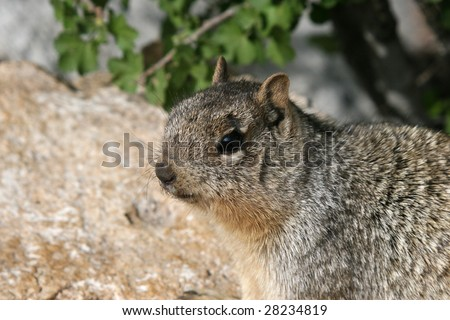 "Portrait of the ""dangerous"" Grand Canyon Rock Squirrel (Spermophilus variegatus"", whose bites send more tourists to the Grand Canyon clinic for treatment than any other animal at the Park."