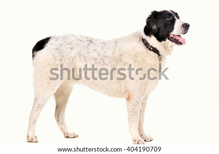 portrait of the dog isolated on white. German shelpherd.