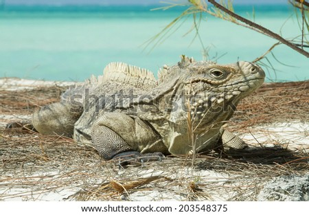portrait of the dragon iguanas basking on the beach at the background of azure ocean - stock photo