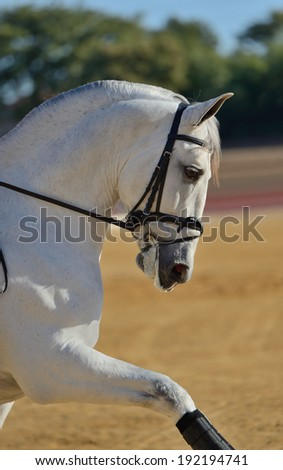 Portrait of the dressage andalusian horse - stock photo