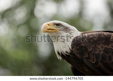 Portrait of the eagle - stock photo
