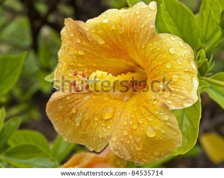 Portrait of the flower of a yellow hibiscus, dotted with drops of rain. Green background. - stock photo