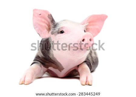 Portrait of the funny little pig isolated on a white background - stock photo