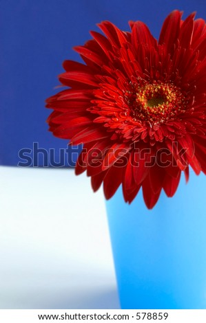 portrait of the gerbera
