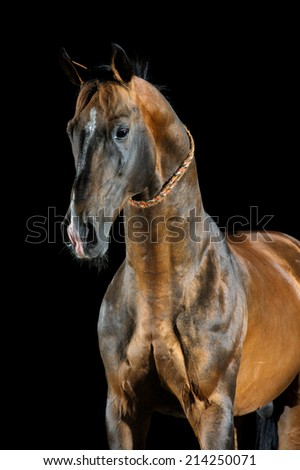 Portrait of the golden bay Akhal-teke horse on the dark background - stock photo