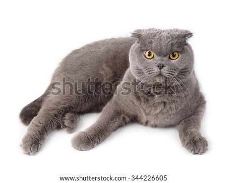 Portrait of the gray lying British short-haired cat on a white background.