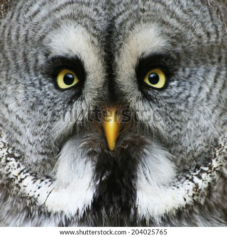portrait of the Great Grey Owl (Strix nebulosa)  - stock photo