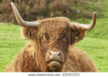 Portrait of the head of a Highland Cow, Mull , Scotland - stock photo