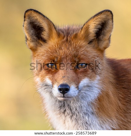 Portrait of the head of a red fox (Vulpes vulpes) with yellow background. The beautiful wild animal of the wilderness. Shred looking in the camera. Eye to eye with a dodgy vulpine. - stock photo