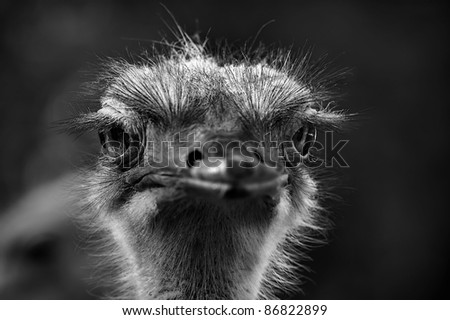 portrait of the head of an ostrich looking at you - stock photo