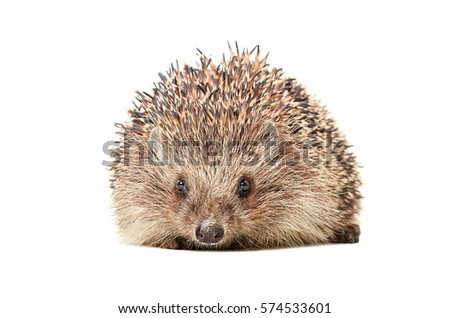 Portrait of the hedgehog isolated on white background