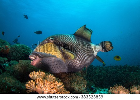 Portrait of the huge triggerfish eating healthy reef. Nusa Penida, Indonesia.