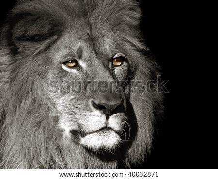 Portrait of the King of the jungle - stock photo