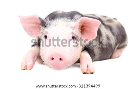 Portrait of the little pig lying isolated on white background - stock photo