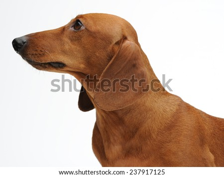 Portrait of the red dachshund - stock photo
