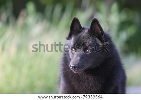 portrait of the schipperke (little barge dog) - stock photo