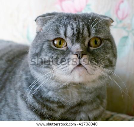 Portrait of the Scottish cat on light background. Shallow DOF - stock photo