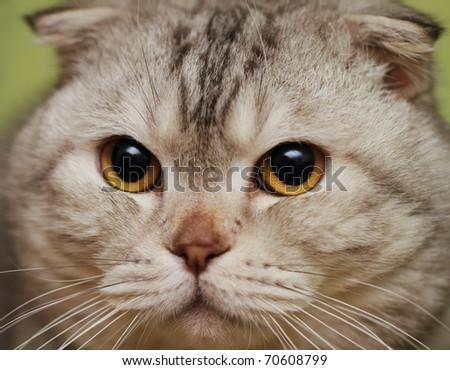 Portrait of the scottish fold cat. Close up - stock photo