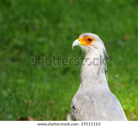 portrait of the secretary bird