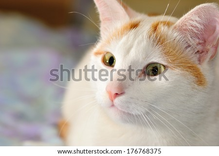 Portrait of the short haired Turkish Van cat also called Anatoli cat  - stock photo