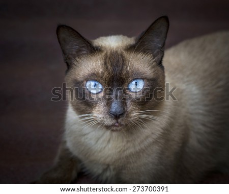 portrait of the siamese cat. - stock photo