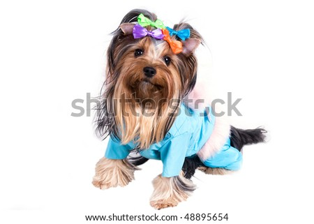 portrait of the small amusing yorkshire terrier on white background - stock photo