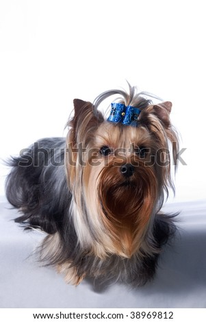 portrait of the small amusing yorkshire terrier with blue knot