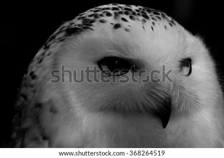 Portrait of the snowy owl - stock photo