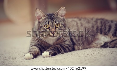 Portrait of the striped domestic cat with yellow eyes lies. - stock photo