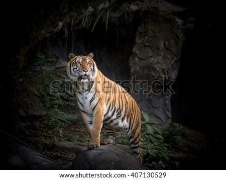 Portrait of the tiger in zoo. - stock photo