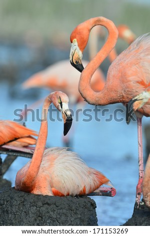 Portrait of the two Caribbean flamingo. A portrait of the Caribbean flamingo in bird colony.