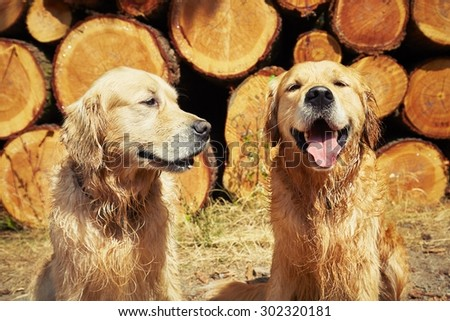 Portrait of the two golden retriever dogs  - stock photo