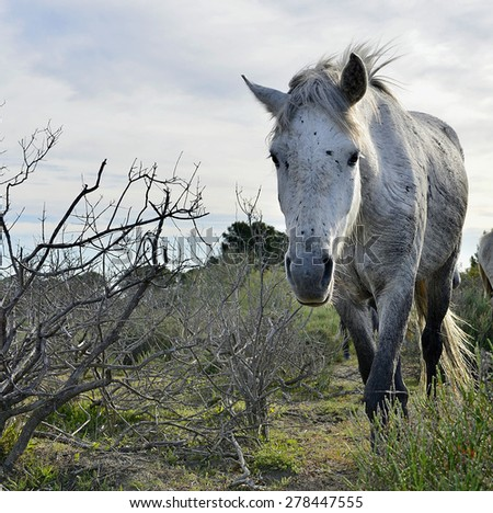 Portrait of the White Camargue Horse  - stock photo