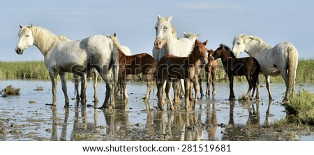 Portrait of the White Camargue Horses with a foals in Parc Regional de Camargue - Provence, France, - stock photo