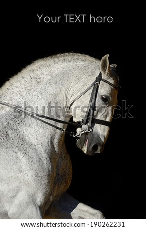 Portrait of the white sport horse - stock photo