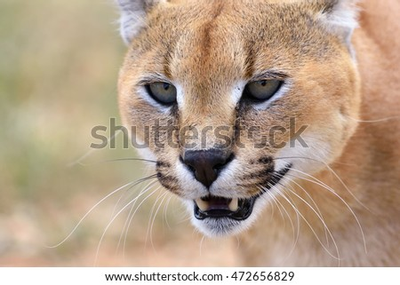 Portrait of the wild female caracal in Namibian savannah, Namibia, Africa