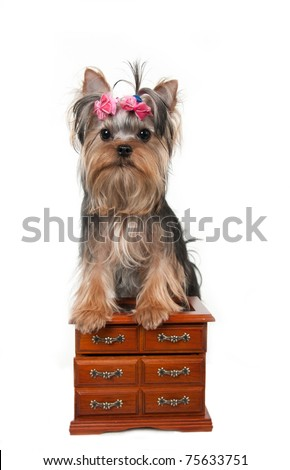 portrait of the yorkshire terrier and dresse - stock photo