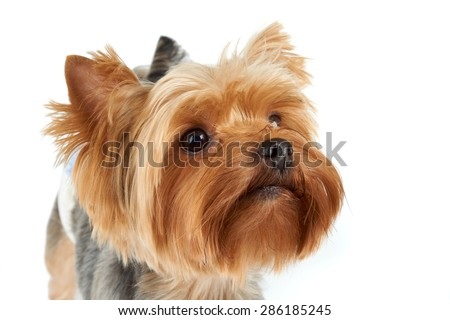 Portrait of the Yorkshire Terrier with black shiny nose over white                               - stock photo