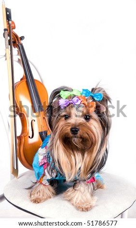 portrait of the  yorkshire terrier with violin - stock photo