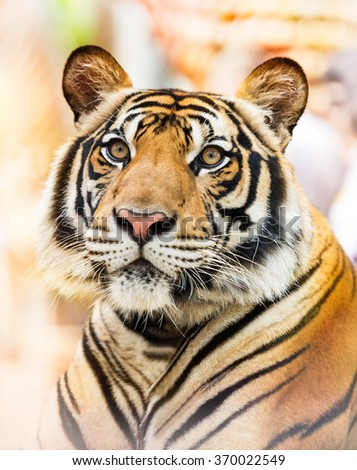 Portrait of the young asian siberian tiger - stock photo