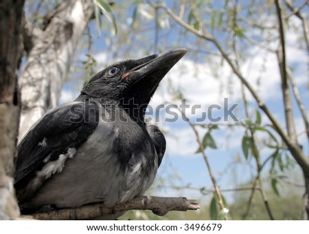 Portrait of the young crow in the nest 3. - stock photo