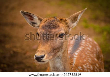 portrait of the young sika deer - stock photo