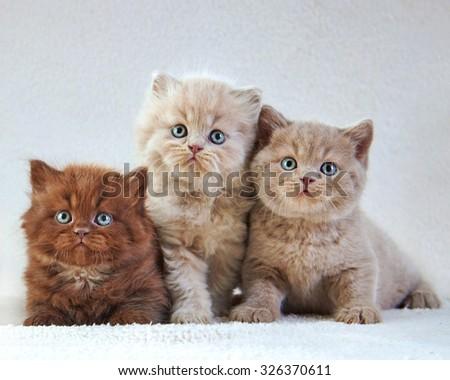 Portrait of Three British kittens - stock photo