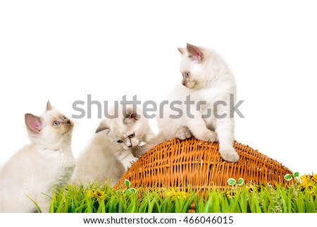 Portrait of three British Shorthair Kittens sitting, 8 weeks old,