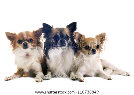 portrait of three purebred  chihuahuas in front of white background