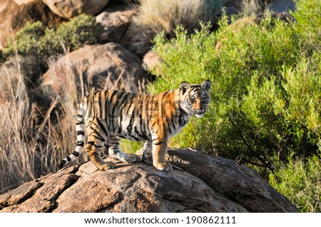 Portrait of tiger cub - stock photo