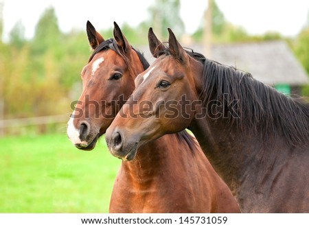 Portrait of two bay horses in summer