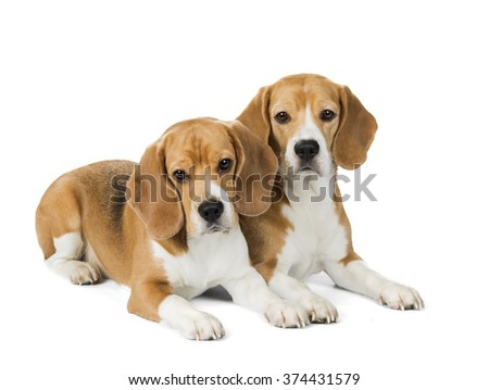 portrait of two Beagle on a white background