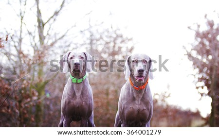 Portrait of two beautiful and young Weimaraner, male and female standing outside in nature and are waiting for yourselves, winter - stock photo