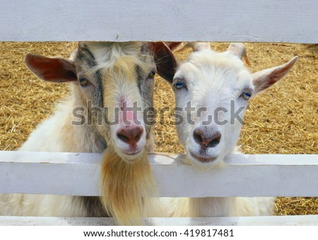 Portrait of two beautiful domestic goats with blue and brown eyes together looking through the fence in the farm in Moscow region - stock photo